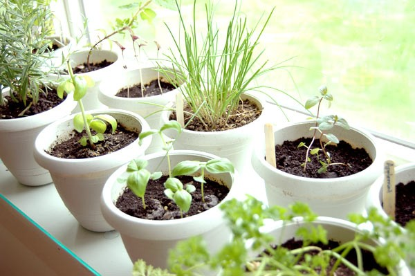 Grow an Edible Herb Garden…Indoors! - The Kensington